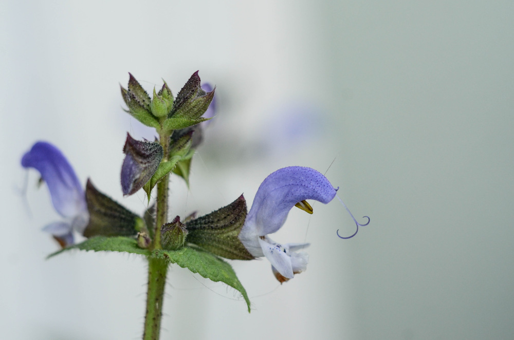 photoblog image Algerisk salvia - Algerian Salvia (Salvia algeriensis)