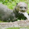 Jättutter - Giant otter  (Pteronura brasiliensis)