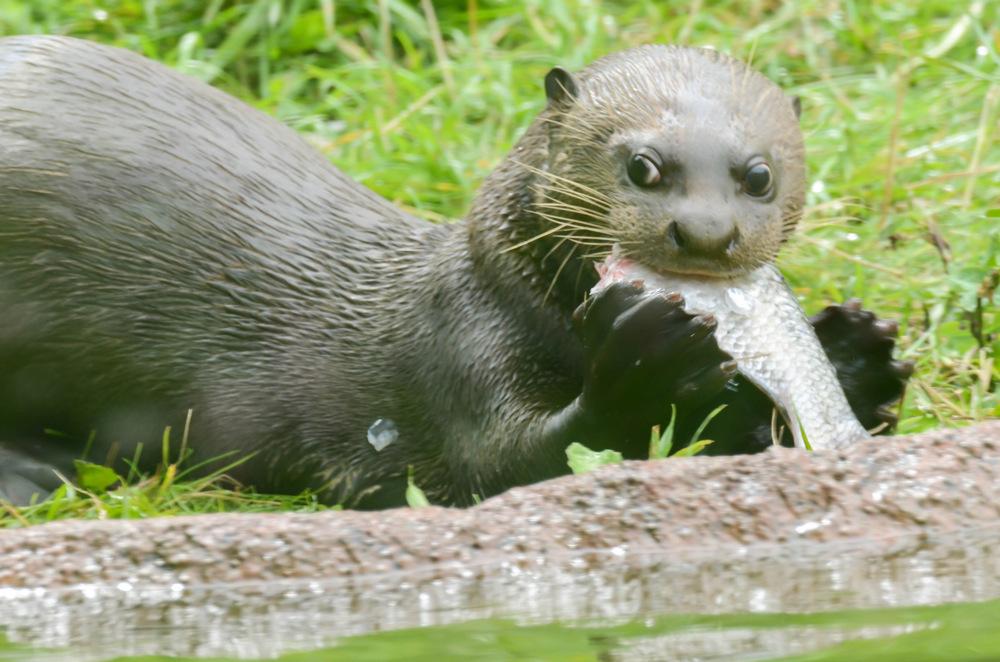 photoblog image Jättutter - Giant otter  (Pteronura brasiliensis)