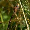 Brun mosaikslända - Brown hawker (Aeshna grandis)