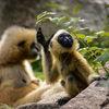 Vitkindad Gibbon - Northern white-cheeked gibbon