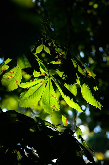 photoblog image Hästkastanj - Horse-chestnut (Aesculus hippocastanum)