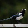 Skata - European Magpie (Pica pica)