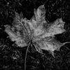 Lönnlöv - Maple leaf (Acer)