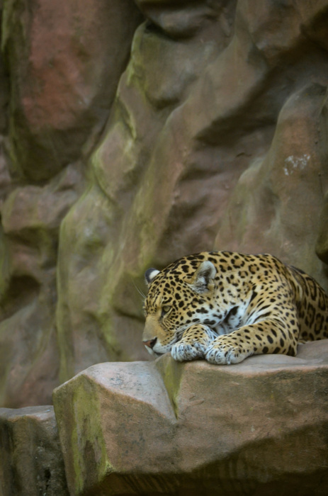 photoblog image Jaguar (Panther onca)