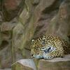 Jaguar (Panther onca)