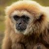 Vithandad Lar - Lar Gibbon (Hylobates lar)