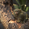 Dvärgsilkesapa - Pygmy marmoset (Cebuella pygmaea)