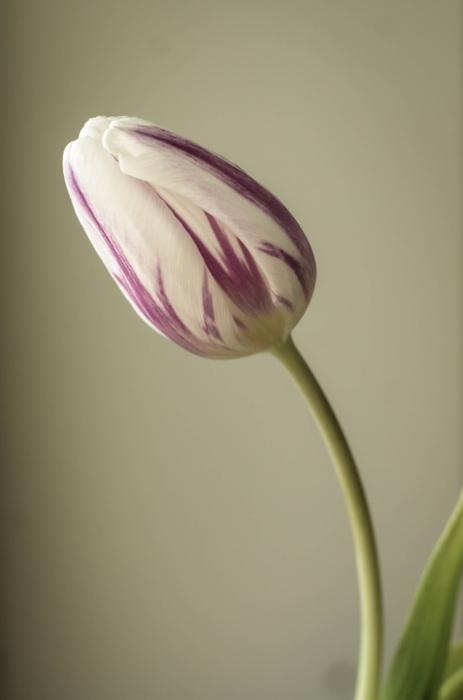 photoblog image Tulpan - Tulipa (Tulipa)