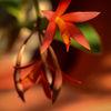 Orkidé - Orchid