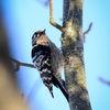 Mindre Hackspett - Lesser Spotted Woddpecker