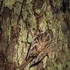 Trädkrypare - Common treecreeper (Certhia familiaris)