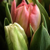 Tulpaner - Tulips (Tulipa)