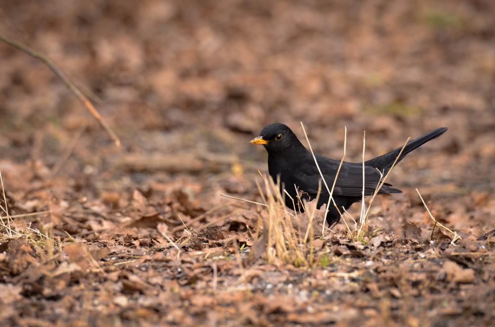 photoblog image Koltrast - Eurasian Blackbird (Turdus merula)