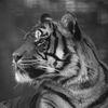 Sumatratiger - Sumatran Tiger (Panthera tigris sumatrae