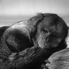 Gulbröstad kapucin - Golden-bellied capuchin