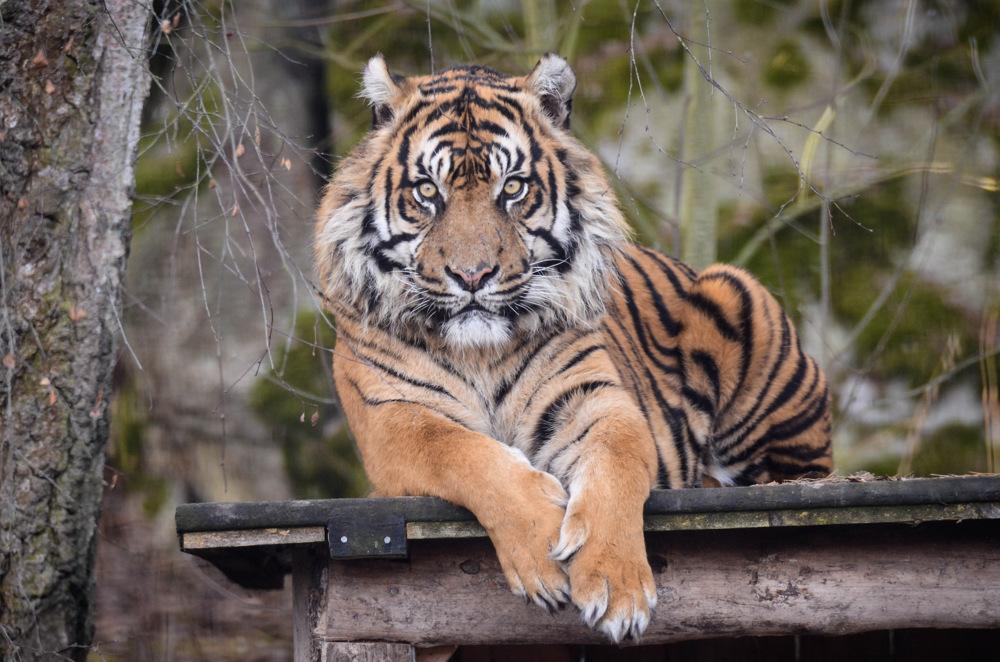 photoblog image Sumatratiger - Sumatran Tiger (Panthera tigris sumatrae
