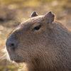 Kapybara - Capybara (Hydrochoerus hydrochaeris)