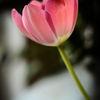 Tulpan - Tulipa (Tulipa)