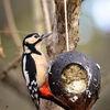 Större hackspett - Great Spotted woodpecker