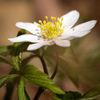 Vitsippa - Wood anemone (Anemone nemorosa)
