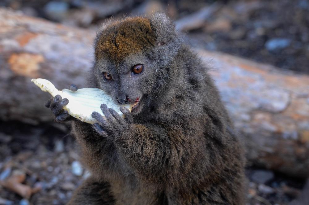 photoblog image Aloatranlemur - Aloatran Gentle Lemur