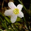 Harsyra - Wood sorrel (Oxalis acetosella)