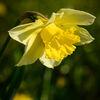 PÃ¥sklilja - Daffodil (Narcissus)
