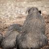 Visays vårtsvin - Visayan warty pig (Sus cebifrons)