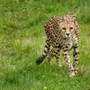 Gepard - Cheetah (Acinonyx jubatus)