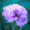 Dianthus plumarius 'Maggie'