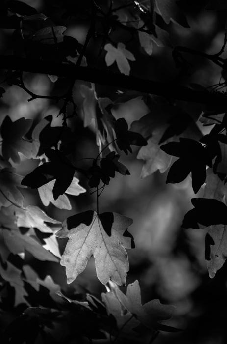 photoblog image Näverlönn - Field maple (Acer campestre)