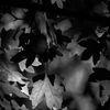 Näverlönn - Field maple (Acer campestre)