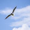 Skrattmås - Black-headed gull
