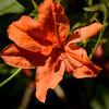 Rhododendron 'Coccinea Speciosa'
