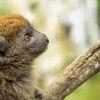 Aloatranlemur - Aloatran gentle lemur