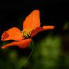 Vindvallmo - Wind poppy (Stylomecon heterophylla)