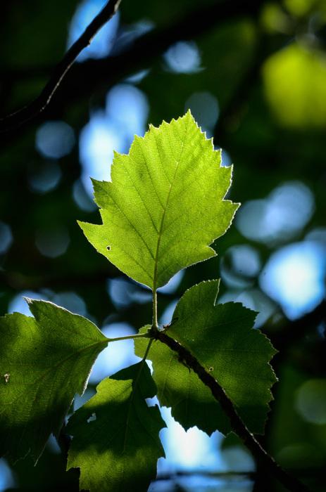 photoblog image Bergoxel - Broad-leaved whitebeam (Sorbus latifolia)