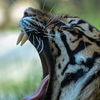 Sumtratiger - Sumatran tiger (Panthera tigris sumatrae)