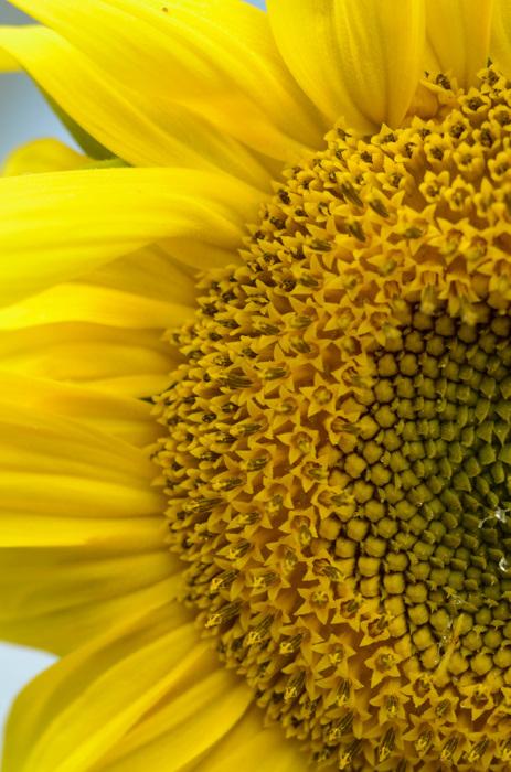 photoblog image Solros - Sunflower (Helianthus annuus)