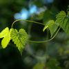 Humle - Hop (Humulus lupulus)