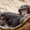 Schimpans - Chimpanzee (Pan troglodytes)