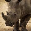 Trubbnoshörning - White rhinoceros(Ceratotherium simum