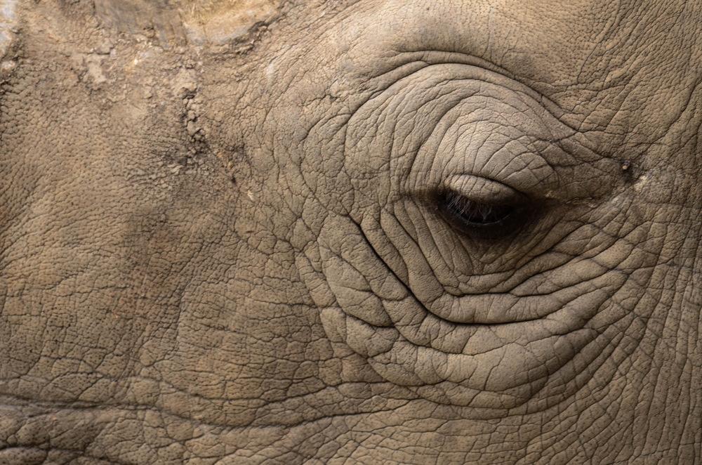 photoblog image Trubbnoshörning - White rhinoceros(Ceratotherium simum