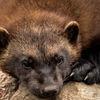 Järv - Wolverine (Gulo gulo)
