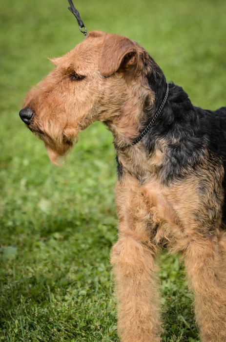 photoblog image Welsh Terrier
