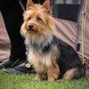 Australisk terrier - Australian terrier