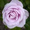 Ros - Rose (Rosa)