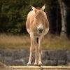 Kulan (Equus hemionus kulan)