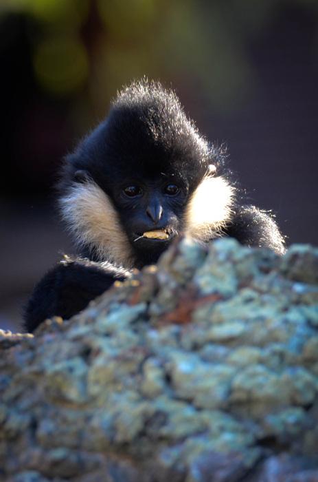 photoblog image Vitkindad Gibbon - Northern White-cheeked Gibbon